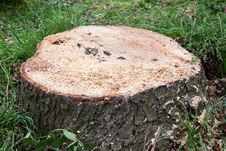 Free Sawed Down Stump Stock Photography - 16808222