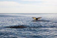 Free Cape Cod: Whale Swimming In The Sea Stock Photos - 16808563