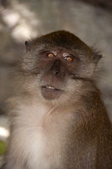 Free Tropical Monkey Macaque Royalty Free Stock Photo - 16809005