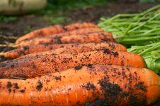 Free Fresh Organic Carrot Royalty Free Stock Photo - 16809745