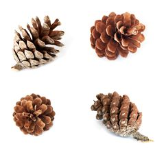 Free Pine Cones Royalty Free Stock Images - 16809989
