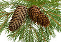 Free Fir Tree With Cones Royalty Free Stock Photography - 16817097