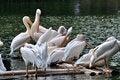 Free Pelicans On Lake Stock Photos - 16818983