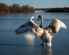 Cygnet Flapping Wings On Ice Stock Images