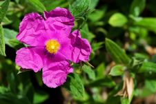 Free Rosa Acicularis Royalty Free Stock Image - 16810576