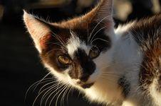 Free Kitten Royalty Free Stock Image - 16810666