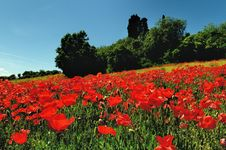 Free Poppy Field Royalty Free Stock Images - 16810909