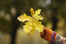 Free Mans Hand Holding Oak Leaves Royalty Free Stock Photo - 16810995