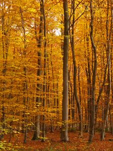 Free Forest In Autumn Royalty Free Stock Images - 16811829