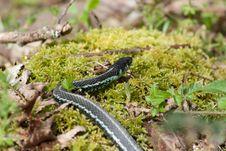 Free Gardener Snake Royalty Free Stock Images - 16812469