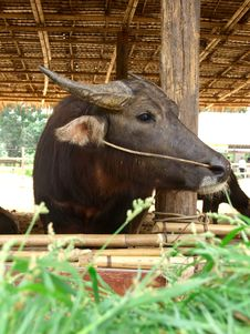 Free Big Buffalo In Its Villages Royalty Free Stock Image - 16813756