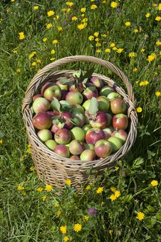 Free Apple Basket Stock Photos - 16815403