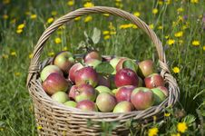 Free Basketful Of Apples Stock Images - 16815654