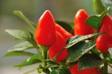Free Mini Peppers Royalty Free Stock Photo - 16815705