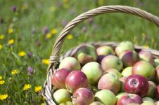 Free Basketful Of Apples Stock Image - 16815711