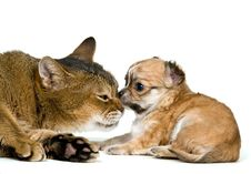 Cat And Puppy Of The Chihuahua Stock Image