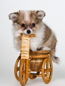 Free Puppy Of The Spitz-dog On A Bicycle Stock Image - 16816001