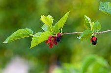 Free Black Butte Blackberry Stock Photos - 16816233