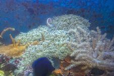 Free Xenia Coral Stock Photo - 16816540