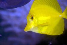 Free Yellow Tang Stock Image - 16816691