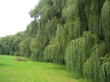 Free Weeping Willows Stock Image - 16816741