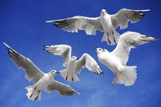 Free Seagulls Stock Photos - 16816983