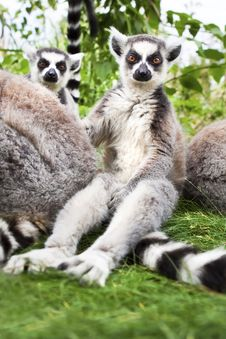 Free Ringtailed Lemurs Looking To Camera. Royalty Free Stock Photos - 16817038