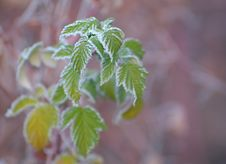 Free Raspberry Leaves Covered With Frost Royalty Free Stock Photography - 16817157