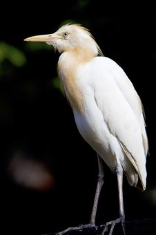 Free White Heron. Royalty Free Stock Photos - 16817618