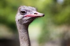 Free Ostrich Head. Royalty Free Stock Images - 16817829