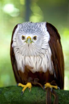 Free Eagle. Royalty Free Stock Photography - 16817907