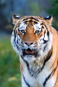 Free A Rare Endangered Siberian Tiger Resting. Stock Photos - 16818763