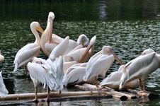 Free Pelicans On Lake Stock Photos - 16818983