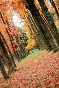 Free Autumn Trees Royalty Free Stock Photography - 16819217