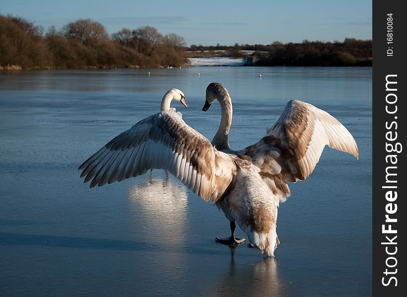 Cygnet Flapping Wings on Ice
