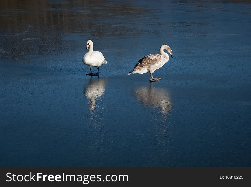 Cygnet and Swan reflected on Ice