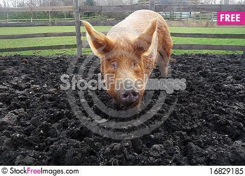 Free Big Muddy Pig Royalty Free Stock Photo - 16829185