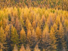 Free Gold Forest In Autumn Royalty Free Stock Photography - 16820847