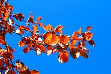 Free Autumn Branch With Leaves Stock Image - 16820971