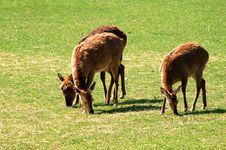 Free Sika Deers Stock Photo - 16822550
