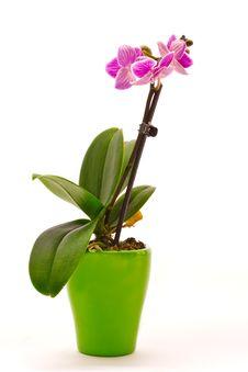 Free Phalaenopsis Stock Photography - 16823052