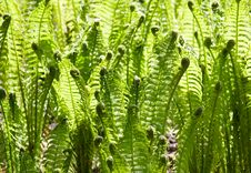 Free Green Leaves Of Wild Young Fern For Background Stock Photography - 16824712
