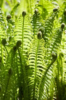 Free Green Leaves Of Wild Young Fern For Background Royalty Free Stock Photo - 16824745