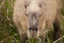 Free Capybara Snout Royalty Free Stock Image - 16827646