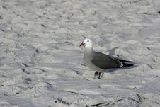 Free Gray Gull Royalty Free Stock Photos - 16827658