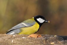 Free Great Tit Stock Image - 16827701