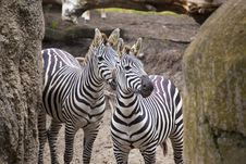 Free Zebra Look Stock Photography - 16827702