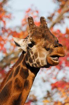 Free Giraffe Stock Photos - 16827983