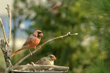 Free Cardinals At Feeder Stock Photos - 16828663