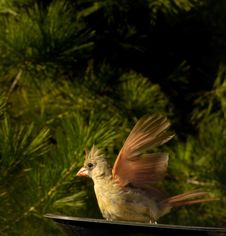 Free Cardinal Landing Into The Wind Stock Photography - 16828882